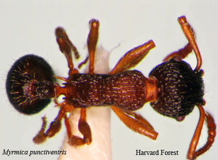 Myrmica punctiventris