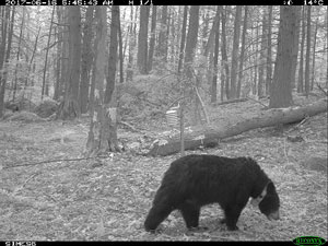 [Female Collared Bear]