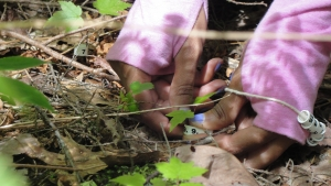 Close-up of a researcher's hand labeling a maple seedling with a numbered tag on the forest floor.