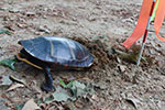 [Painted turtle laying eggs in sand parking lot]
