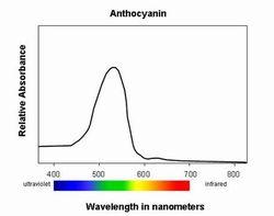 Anthocyanin Absorption