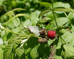 [Blackberry and Raspberry plants are thorny, but good for a delicious treat]