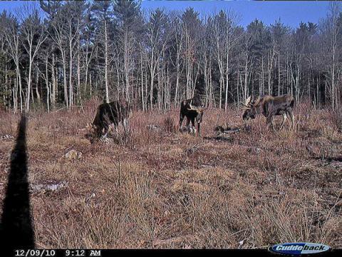Moose images on motion camera