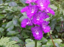 Purple-fringed orchid