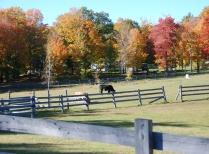Cows Graze Near Historic Sanderson Farm