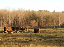 Cows Graze Near Fisher Meteorological Station