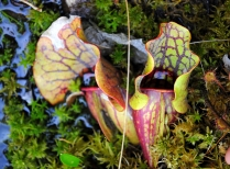 Two Common Carnivorous Plants At Harvard Forest