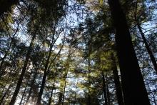 Hemlock at Harvard Forest