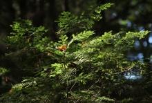 Hemlock branch by David Foster