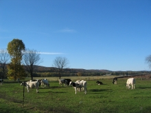 Cows grazing in an open pasture