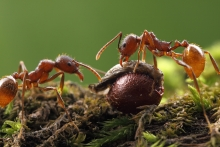 Aphaenogaster rudis ants with bloodroot seed