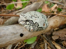 A toad sitting on a branch.