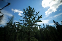 A young black spruce.