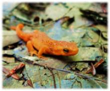 Eft salamander on fallen leaves
