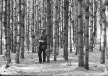 Harvard Forest founding director Richard Fisher in a pine stand in 1908