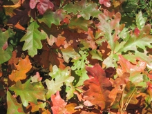 Oak leaves during the fall