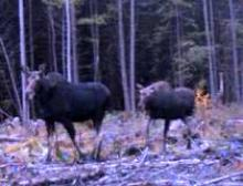Moose in the exclosure