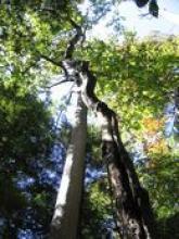 Pisgah Tree