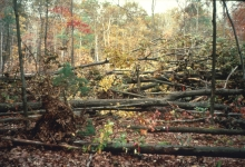 The Harvard Forest hurricane pulldown area