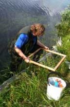 Elizabeth Crone studying riparian wildflowers
