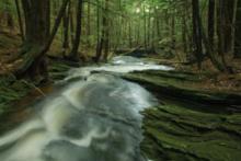 Hemlocks by stream