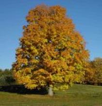 Sugar Maple in Fall