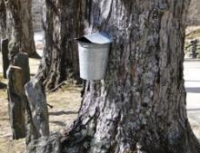Maple Sugar Bucket
