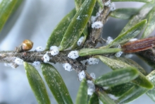 Woolly adelgid on a branch.