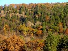 Cedar trees in Holyoke,Ma