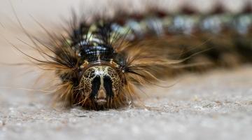 close-up of Lymantria dispar caterpillar
