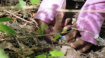 A scientist places a numbered collar around a maple seedling on the forest floor.