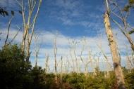 Dead oaks on Martha's Vineyard