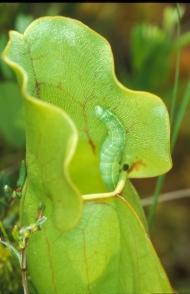 Quaker Moth