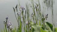 purple orchids in bloom in a wetland