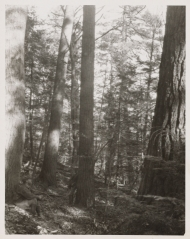 Historical image of old-growth trees at Pisgah Forest in NH