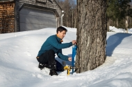 Bullard Fellow Joshua Rapp tapping maple trees at Harvard Forest