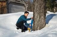 Bullard Fellow Joshua Rapp tapping maple trees at Harvard Forest