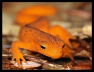 Red Eft by Brooks Mathewson