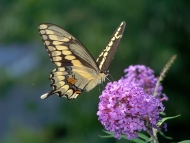 The Giant Swallowtail butterfly on a purple flower