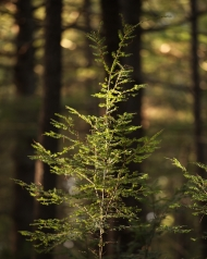 Hemlock sapling photo by David Foster