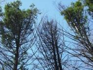 Effects of Hemlock woolly adelgid at Harvard Forest