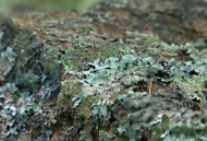 Close of picture of lichen being studied by ecologist Anne Pringle