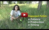 Harvard Forest ragweed video