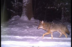 Wildlife Trail Cameras at Harvard Forest - February 2016