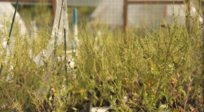 Flowering Ragweed Plants In Hoop-House Experiment
