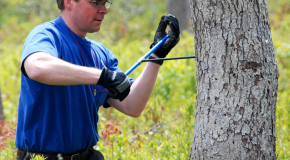Research Assistant Cores Tree as Part of Oak Decline Study