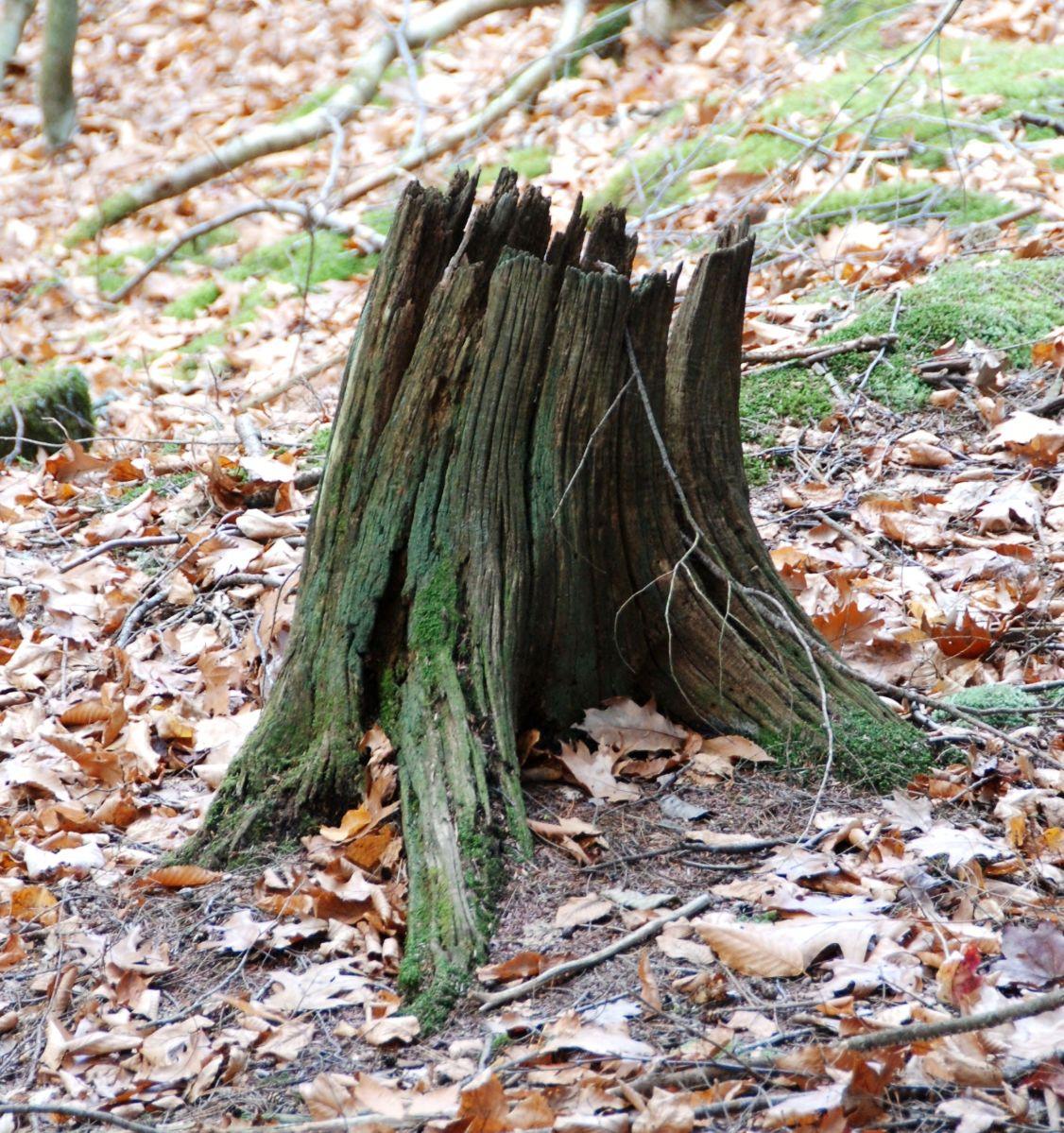 Chestnut Stump