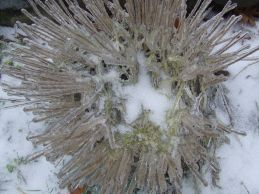 Chives in ice