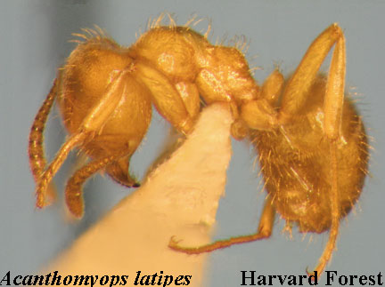 Acathomyops latipes