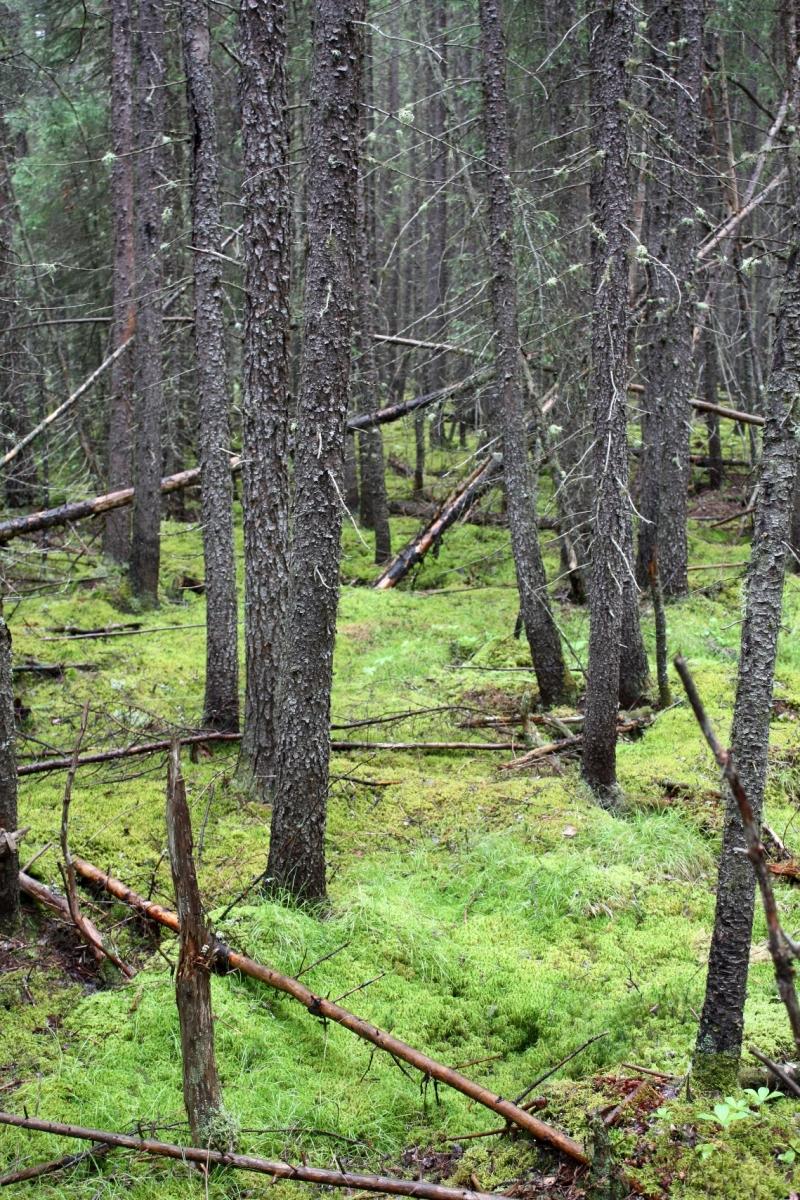 Harvard Forest: Press Resources: Boreal Forest Climate Refuge 6/16